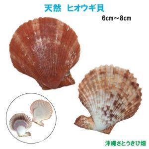 天然 ヒオウギ貝(6cm-8cm)|ryuuka