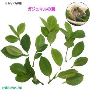 オカヤドカリ用 ガジュマルの葉 30枚|ryuuka