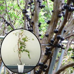 ジャボチカバ苗 (四季なり種)接木苗|ryuuka