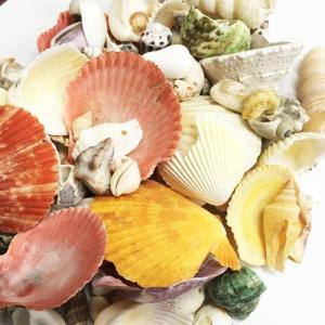 割れ貝殻の詰め合わせ300gパック