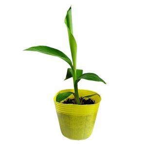 島バナナ苗 メリクロンポット苗|ryuuka