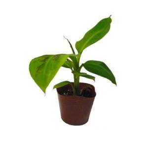三尺バナナ苗 メリクロンポット苗|ryuuka