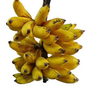 島バナナ苗 メリクロンポット苗|ryuuka|02