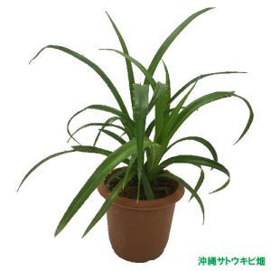 アダンの鉢植(7.5cm鉢) ryuuka