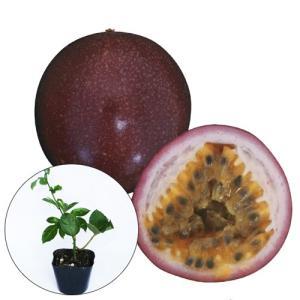 パッションフルーツ苗(サニーシャイン種)|ryuuka