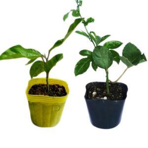 パッションフルーツ苗セット(イエロー種 パープル種)|ryuuka