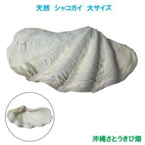 シャコガイ(シャコ貝) 大サイズ|ryuuka