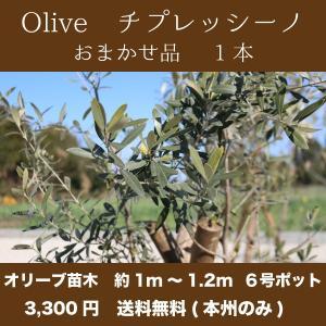 【送料無料(本州・四国のみ)】1本 オリーブの木 樹高1m〜1.2m前後 チプレッシーノ|s-engei