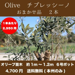 【送料無料(本州・四国のみ)】2本セット オリーブの木 樹高約1m〜1.2m前後 チプレッシーノ|s-engei