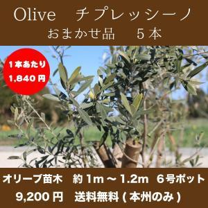 【送料無料(本州・四国のみ)】5本セット オリーブの木 樹高約1m〜1.2m前後 チプレッシーノ|s-engei