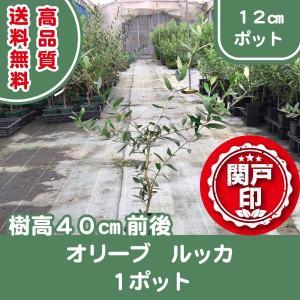 高品質 オリーブ ルッカ 12cmポット1ポット 送料無料(関東・東海・関西・北陸・信越に限り)  レビューを書いて特典あり s-engei