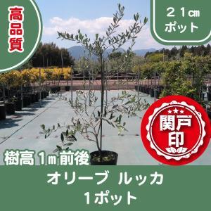 高品質 オリーブの木 ルッカ 21cmポット 1ポット 樹高1m前後 レビューを書いて特典あり s-engei