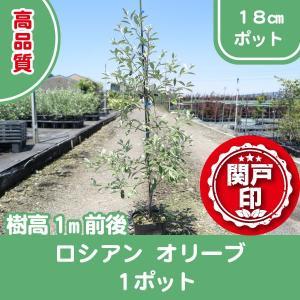 高品質 オリーブの木 ロシアンオリーブ 18cmポット 1ポット 樹高1m前後 レビューを書いて特典あり s-engei