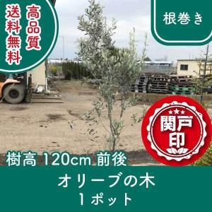 高品質 オリーブの木 根巻きタイプ 1ポット 樹高120cm前後 送料無料(関東・東海・関西・北陸・信越に限り)  レビューを書いて特典あり! s-engei