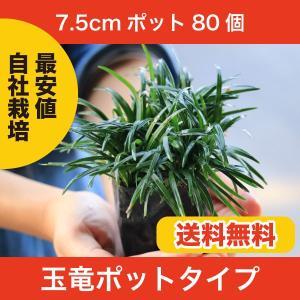 生産者だから関戸園芸の玉竜は高品質で低価格!  玉竜(タマリュウ)は龍のひげ(リュウノヒゲ)を品種改...