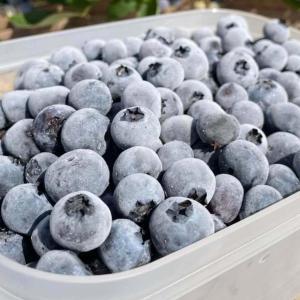 無添加 冷凍ブルーベリー 1kg ブルージェイ 冷凍果 フルーツ 北海道 農園直送 自然栽培 ハウレット農園|s-hokkaido