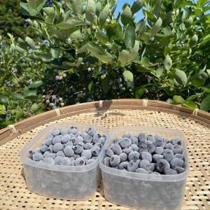 無添加 冷凍ブルーベリー 1kg (ブルージェイ パトリオット 各500g) 冷凍果 フルーツ 北海道 農園直送 自然栽培 ハウレット農園|s-hokkaido