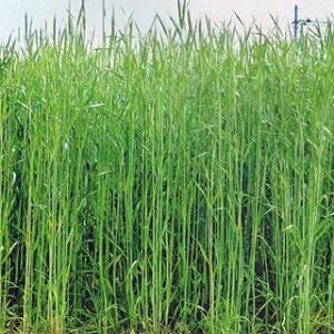 耐寒、耐雪性に優れ、雪腐病に強い極早生種で、ライ麦の代名詞です。 果樹園草生栽培、野菜の連作障害回避...