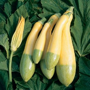 ズッキーニの種 グリーンパンツ 小袋(約8粒)