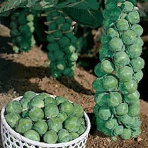 耐暑性強く、強勢で作りやすい早生種。定植後約90日で収穫でき、早どりができる。球は包被が深くて、しま...