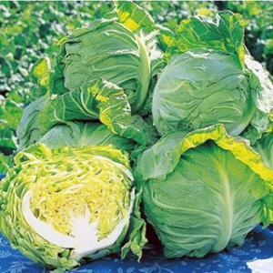 葉質が特にやわらかく、ジューシーで品質は極めて良好。 晩抽性・低温下での玉太りに優れ、作りやすい極早...