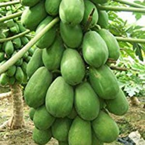 パパイヤの種 【ハワイオウロ】小袋(10粒)