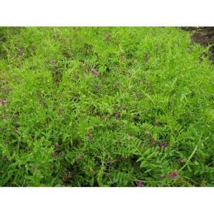 雑草をおさえる効果バツグン!  ・アレロバシー効果で雑草の発生を抑制します。 ・早生で初期成育が旺盛...