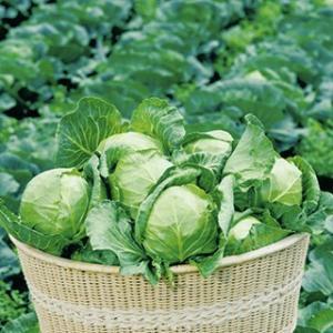 球重600〜800g程度のミニサイズの丸玉キャベツ。 適期栽培では定植後40日程度で収穫できる極早生...