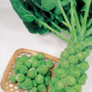 早どりできる芽キャベツで、倒れにくくつくりやすいので家庭菜園に適します。球は包みがよく、きれいにまと...