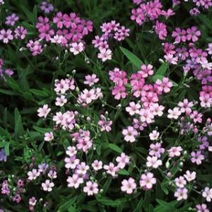 宿根かすみ草 種 ピレネー ピンク 実咲小袋 ( 宿根かすみ草の種 )