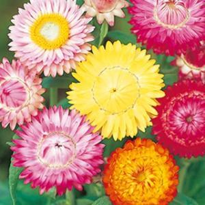 草丈約80cm、株元と茎から多くの枝が伸びて先端に花径約6cmほどの大輪で色鮮やかな花をつけます。カ...