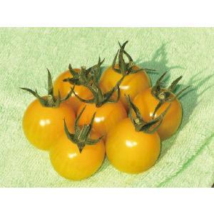 トマトの苗 黄色いさくらんぼトマト 苗 4本セット 予約販売...