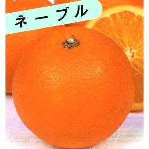 柑橘類の苗 ネーブルオレンジ 2年生苗木...