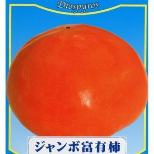 果樹苗 甘柿 ジャンボ富有柿 1年生苗木