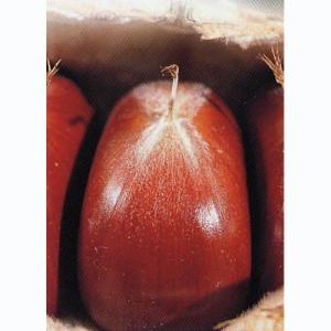 中生で黒褐色。実は大きくとてもおいしいが、烈果が多く、 栽培適地以外では栽培が難しいため生産地は少な...