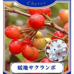 果樹苗 サクランボ 暖地桜桃 ( だんちさくらんぼ ) 1年...