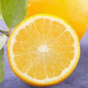 柑橘類の苗 スイートレモネード 1年生苗木