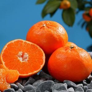 柑橘類の苗 石地 ( いしじ ) 2年生苗木