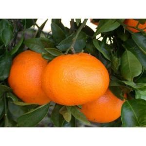 柑橘類の苗 西南のひかり 2年生苗木