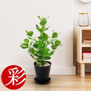 観葉植物 クルシア・ロゼア  6号 セラアート鉢 大型 インテリア 開店祝い お祝い 新築祝い