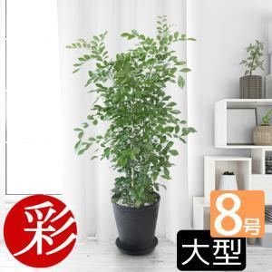 観葉植物 ゲッキツ(シルクジャスミン) 8号 セラアート鉢 ...