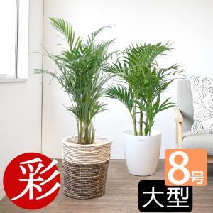 観葉植物 人気のアレカヤシ 8号鉢カバーセット 送料無料|saisyokukenbi