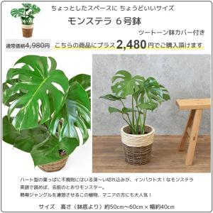 観葉植物 人気のアレカヤシ 8号鉢カバーセット 送料無料|saisyokukenbi|03