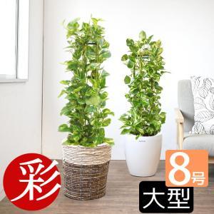 観葉植物 ポトス ポトスタワー仕立て 8号鉢 送料無料 鉢カバー付
