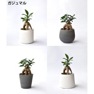 8種類から選べる ミニ 観葉植物 白陶器のボールポットとロングポット ガジュマル ポトス エバーフレッシュ ソテツ(蘇鉄)|saisyokukenbi|02
