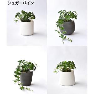 8種類から選べる ミニ 観葉植物 白陶器のボールポットとロングポット ガジュマル ポトス エバーフレッシュ ソテツ(蘇鉄)|saisyokukenbi|03