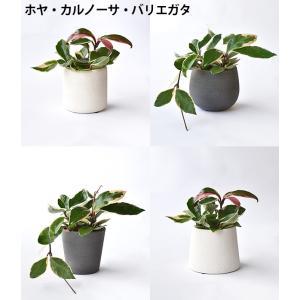 8種類から選べる ミニ 観葉植物 白陶器のボールポットとロングポット ガジュマル ポトス エバーフレッシュ ソテツ(蘇鉄)|saisyokukenbi|04