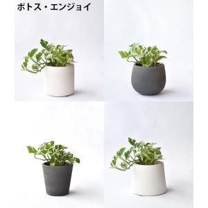8種類から選べる ミニ 観葉植物 白陶器のボールポットとロングポット ガジュマル ポトス エバーフレッシュ ソテツ(蘇鉄)|saisyokukenbi|05
