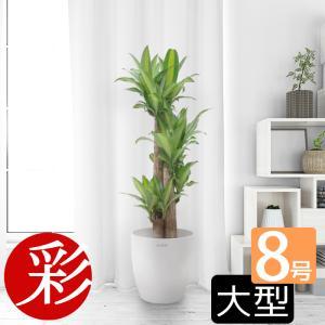 観葉植物 幸福の木 ドラセナ・マッサンゲアナ
