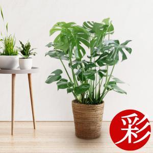 観葉植物 モンステラ 7号鉢 大型 室内用 インテリア おしゃれ ヒメモンステラ 父の日